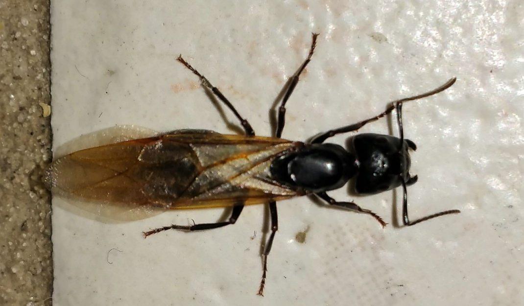 Flying Carpenter Ant - Lakewood Exterminating