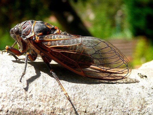 Cicada - Lakewood Exterminating