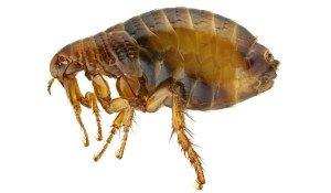 Flea control Cleveland, OH- Lakewood Exterminating