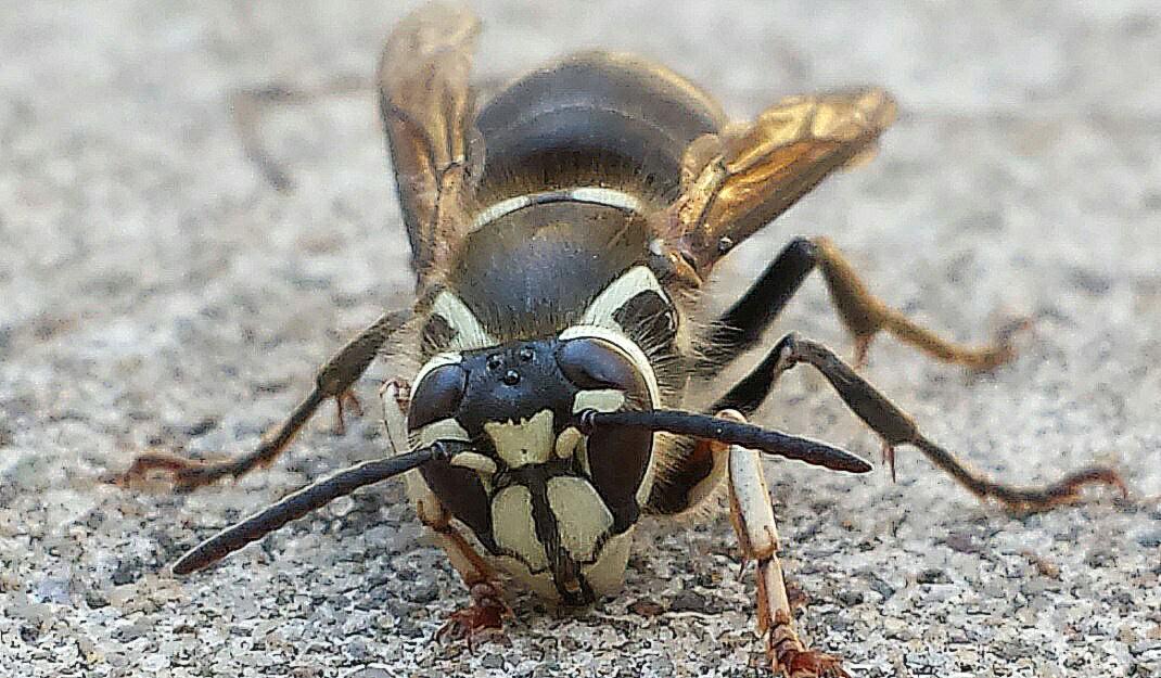 Baldfaced hornet - Lakewood Exterminating