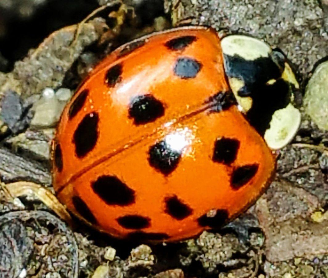 ladybug in Ohio
