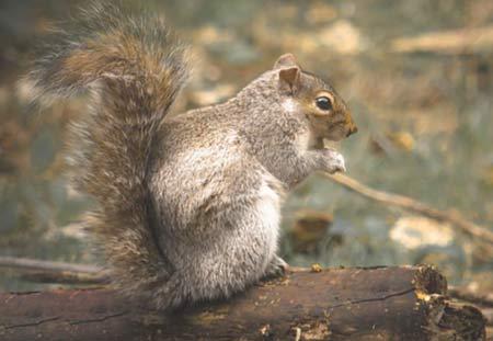 Squirrels Lakewood Exterminating