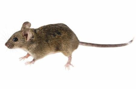house mouse portfolio picture